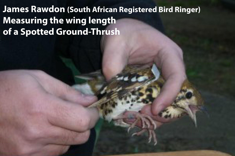 Bird ringing for fb